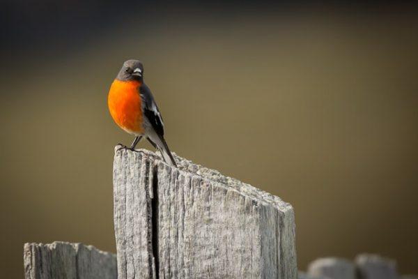 nature-bruny-island-scarlet-robin-male